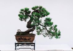 young Japanese black pine, beginning to cascade.