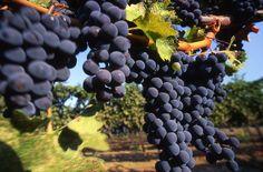 Ceja Cabernet Sauvignon grapes - Napa Valley AVA