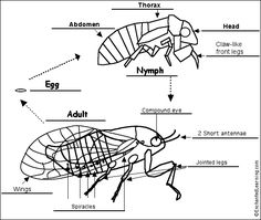 Cicada diagram labeled basic guide wiring diagram isaac is mesmerized by cicadas life cycles and coloring pages rh pinterest com wasp diagram enchanted learning cicada ccuart Gallery