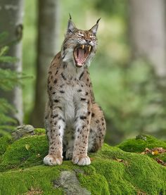 Eurasian Lynx müde Katze Cat Bobcat, Caracal Cat, Serval Cats, Small Wild Cats, Big Cats, Cute Cats, Majestic Animals, Animals Beautiful, Cute Animals