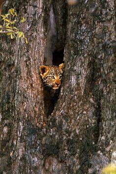 Leopard 6by~catman-suha