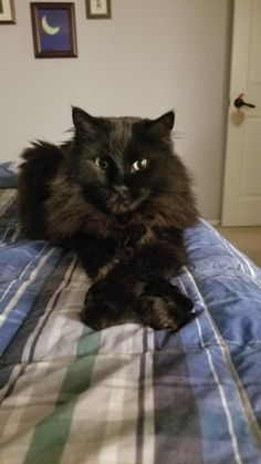 Can Cats Eat Peanut Butter Cute Cats And Kittens, I Love Cats, Crazy Cats, Cool Cats, Kittens Cutest, Fluffy Black Cat, Fluffy Cat, Black Cats, Pretty Cats