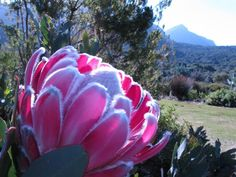 Protea at Kirstenbosch National Botanical Garden, Cape Town Protea Art, Protea Flower, My Flower, Succulents Garden, Planting Flowers, Cape Town Tourism, National Botanical Gardens, Garden Of Earthly Delights, Daffodils
