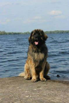 Leonberger, Goddamn fluffy dog. If you're ever in need of a hug, look for a dog like this