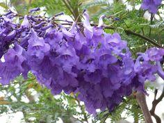 Flora Of Ecuador S Sierra Flowering Trees Tree Identification Jacaranda Tree