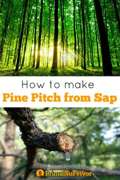 How to Make Pine Pitch from Sap. If you've ever gone hiking in a pine forest and touched the trees, you've probably felt pine sap.  It is incredible sticky when fresh and turns into orange globs when dry.  You might not have thought much about it, but pine sap is incredibly useful.  If you want to improve your survival skills, bushcraft skills, or homesteading knowledge, then you'll need to know how to make pine pitch.