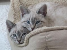 lynx point Siamese - one of my new foster ferals looks like this!
