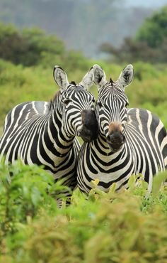 a safari isn't THAT expensive. We'll tell you how to do a cheap safari in Kenya. Nature Animals, Animals And Pets, Funny Animals, Cute Animals, Animals Kissing, Wild Animals, Baby Animals, Wildlife Photography, Animal Photography