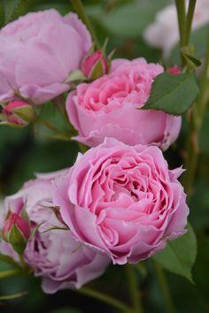 Endymion, Shrub Rose. Japan Kimura TakuIsao 2015