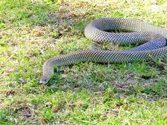 King Brown Snake Found: Most of Australia These big snakes often shelter near humans in woodpiles or house foundations. The worlds most dangerous snakes.
