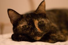 "Do Tortoiseshell Cats Really Have ""Tortitude""? 