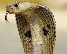 Pictures, video and audio of Indian Cobra also known as Naja naja. Find images, photos, movies and sounds of Indian Cobra (Naja naja) at the Encyclopedia of . Top 10 Deadliest Animals, Indian Cobra, Snake Facts, Poisonous Snakes, Poisonous Animals, Deadly Animals, Cobra Snake, Snake Venom, King Cobra