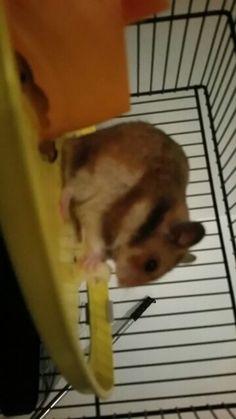 Petit hamster et son fromage