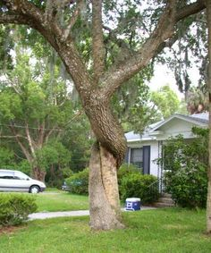 two trees intertwined as if one is choking the other
