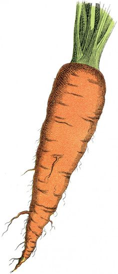 Морковь - винтажный рисунок