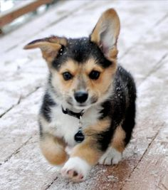 Corgy on a mission adorable !