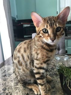 Fantastic pretty cats information are readily available on our website. Kittens Cutest, Cats And Kittens, Ragdoll Kittens, Tabby Cats, Funny Kittens, White Kittens, Black Cats, Animals And Pets, Funny Animals