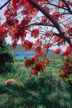 Flamboyan Tree Photograph by George Oze - Flamboyan Tree Fine Art Prints and Posters for Sale