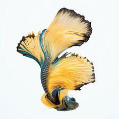 betta, fish, and bruce wyma 이미지
