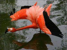 Flamingo in Flight, Nicholas Sampson