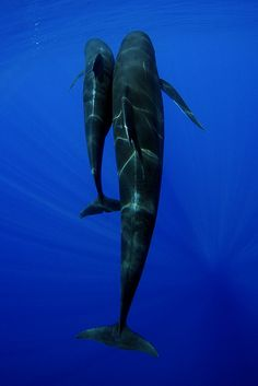 Pilot whale Mother & calf by Rory Moore, via Flickr