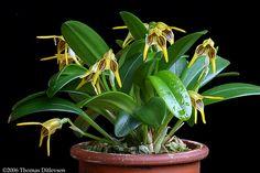 Masdevallia garciae, occurs in Venezuela at altitudes of 1200-1500m., by thomas_orchids, via Flickr