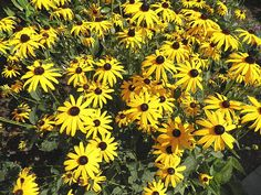 Black Eyed Susans by Kate Gallagher