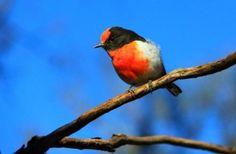 Red robin at Karijini - Eye heart Lens entry