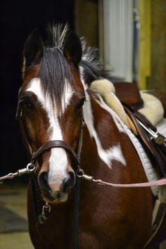 Skewbald pony saddled up and cross-tied.