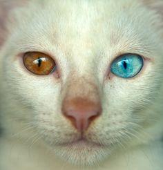 white cat with heterochromia