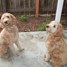 Meet Andy & Parker - Green Bean Dog's newest models - Adorable Golden Doodles! Golden Doodles, Green Bean, Doge, Dog Design, Meet, Models, Fun, Handmade, Animals