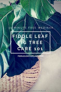 Click to register for the free 30-minute webinar Fiddle Leaf Fig Tree Care 101. Learn all about how to grow a healthy and strong Fiddle Leaf Fig Tree. For more Fiddle Leaf Fig Resources visit fiddleleaffigplant.com #fiddleleaffig #gardening #houseplants
