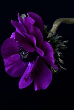 ♥ anemonen