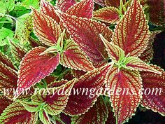 upright ) Deep purple and red center surrounded by deeply scalloped edge of bright green and yellow. Greenhouse Plants, Plant Catalogs, Dawn, Gardens, Leaves, Hands, Gallery, Fiestas, Eggs