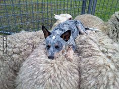 Rescued puppy sleeping atop some sheep she herded