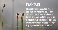 Plantain (Plantago major) is a weed commonly found in the wild and, much to the dismay of many suburbanites, the lawns of almost everyone living in temperate climates. This hardy weed can frequently be found …