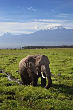 Elephant and Mt Kilimanjaro : David Lazar    An iconic scene from East Africa – an elephant in the foreground and the snow capped Mt Kilimanjaro in the background. While the mountain is in Tanzania across the border, it can be viewed clearly from Amboseli, Kenya.