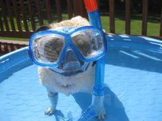 Spanky the pug gets ready for shark week.