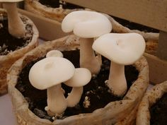 Cultivar SETAS en casa - GUÍA práctica Culture Champignon, Agriculture, Growing Mushrooms, Fungi, Stuffed Mushrooms, Vegetables, Ecology, Food, Business