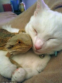 An unusual friendship between this cat and a baby bearded dragon has amassed thousands of fans online cats Cute Baby Animals, Animals And Pets, Funny Animals, Unusual Animals, Animals Beautiful, Unusual Pets, Unlikely Animal Friends, Unusual Animal Friendships, Bearded Dragon Funny