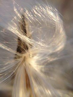 Milkweed up close. Dandelions, Creatures, Flowers, Plants, Plant, Royal Icing Flowers, Flower, Dandelion, Florals