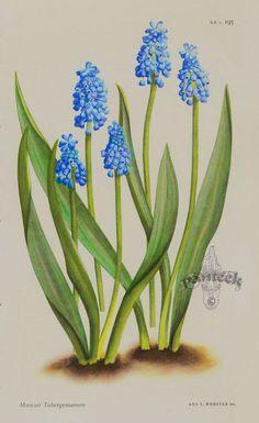 ❈ Fleurs Foncées ❈ dark art photography flowers & botanical prints - Muscari Tubergenianum