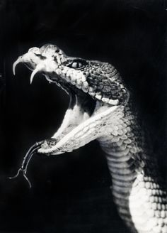 Remarkable photo of a Cobra. Scary.