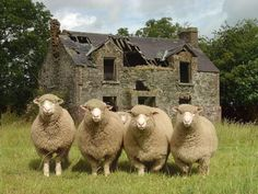 Clogherney Sheep, County Tyrone