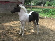 Gorgeous Falabella mini horse   ...........click here to find out more     http://googydog.com