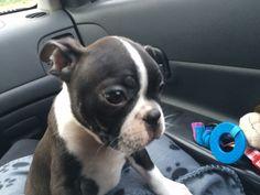 Our new boy, Bosco Born April 16, 2015
