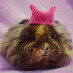 😻😻😻 #Repost @chasingcavies with @repostapp ・・・ Gia wants to join the Women's March on Washington!!! This might be a cute picture of a guinea pig in a tiny pussycat hat but the issues are real, serious and worth standing for. #womensmarchonwashington #pussygrabsback #healthcareforwomen #justiceforall #sisters #lovetrumphates #keepyourlawsoffmypussy #politics #guineapig #civilrights #healthcare #LGBT #peacefulprotest #feminist #riotgirl #nastywoman #activism