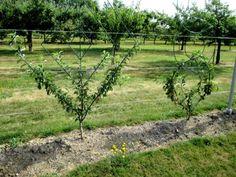 Comment former un espalier ou une palmette. Espalier, Outdoor Structures, Passion, Gardens, Plants