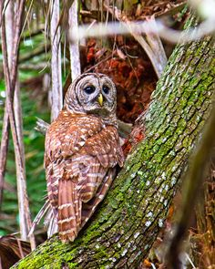 Barred Owl (Strix varia) at Grassy Waters Preserve near West Palm Beach Florida [OC] [800x1000] - http://ift.tt/1VszdK4
