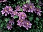CLEMATIS  Vyvyan Pennell  30-40 cm http://www.fidanistanbul.com/urun/884_clematis--vyvyan-pennell--30-40-cm.html